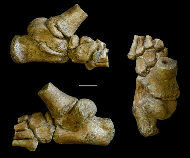 Penelitian Young Australopithecus afarensis walks two feet, but still climbs tree