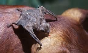 No entanto, cerca de 70% dos morcegos se alimentam de insetos, sendo praticamente todo o restante dos que se alimentam de frutas e néctar . Somente três espécies se alimentam exclusivamente de sangue: são os chamados morcegos hematófagos ou vampiros. Mas eles geralmente não atacam humanos e alimentam do sangue de animais (aves e mamíferos).