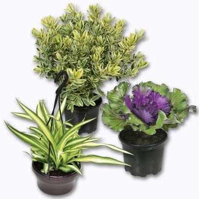 Plante d automne ou plante verte en suspension aldi for Recherche sur les plantes vertes