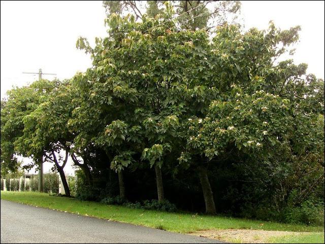 Cây Trẩu - Aleurites montana - Nguyên liệu làm thuốc Có Chất Độc