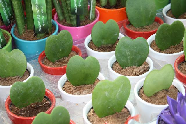 Χόγια κέριι (Hoya kerii)