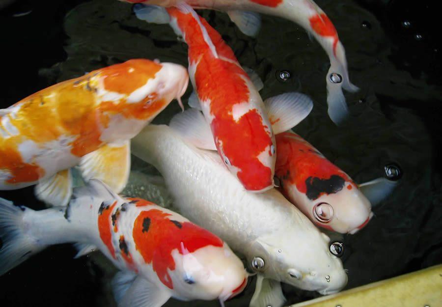 Harga Ikan Mas Harga Ikan Bbat Sukabumitripod Ikan Koi Hias Gemuk Untuk Pameran Aneka Ikan Hiasku