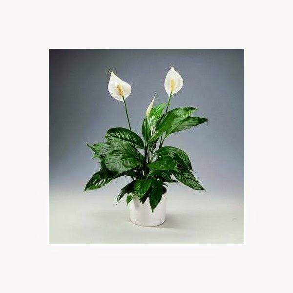 Flores y plantas de interior plantas de interior resistentes - Plantas resistentes de interior ...