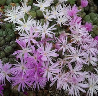 Conophytum ficiforme - Worcester Patryskloof