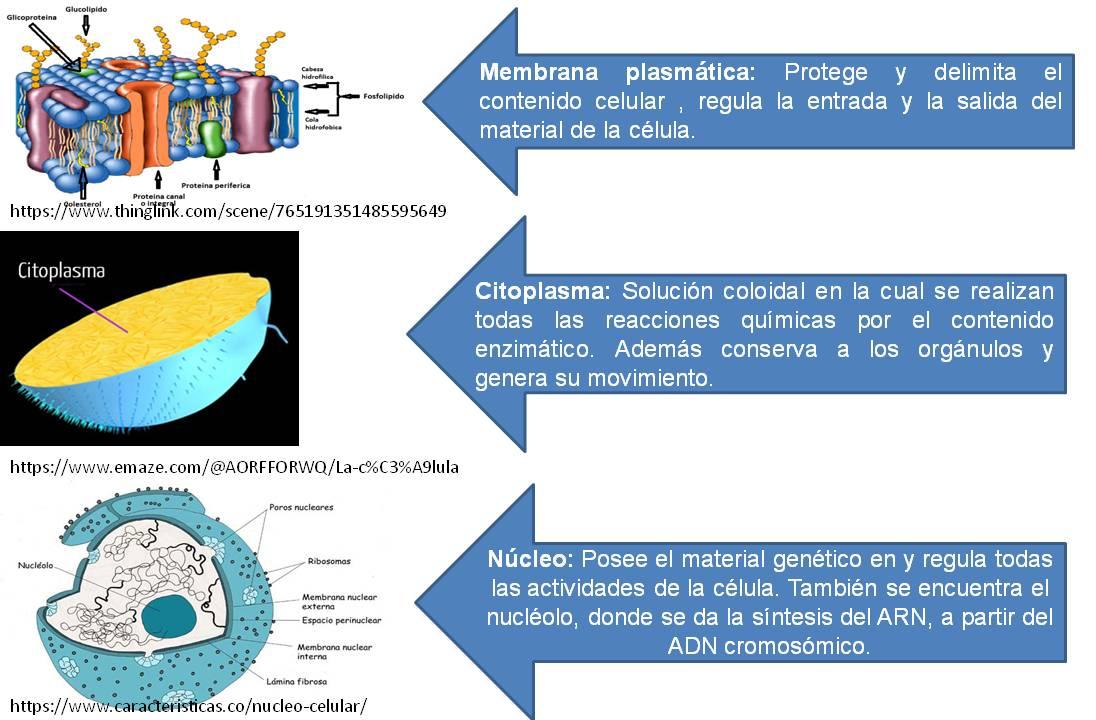 Función Y Estructuras De Las Células La Pared Celular