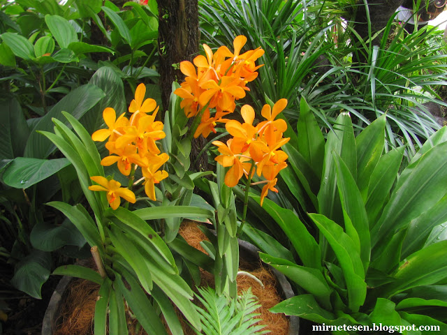 Национальный сад орхидей в Сингапуре - оранжевые орхидеи