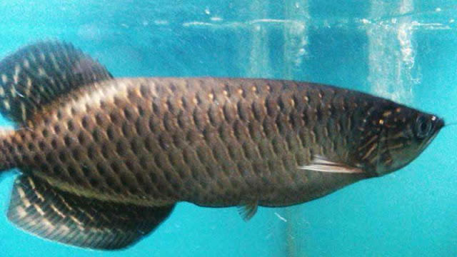 7 Ikan Arwana Termahal Karena Dianggap Paling Cantik