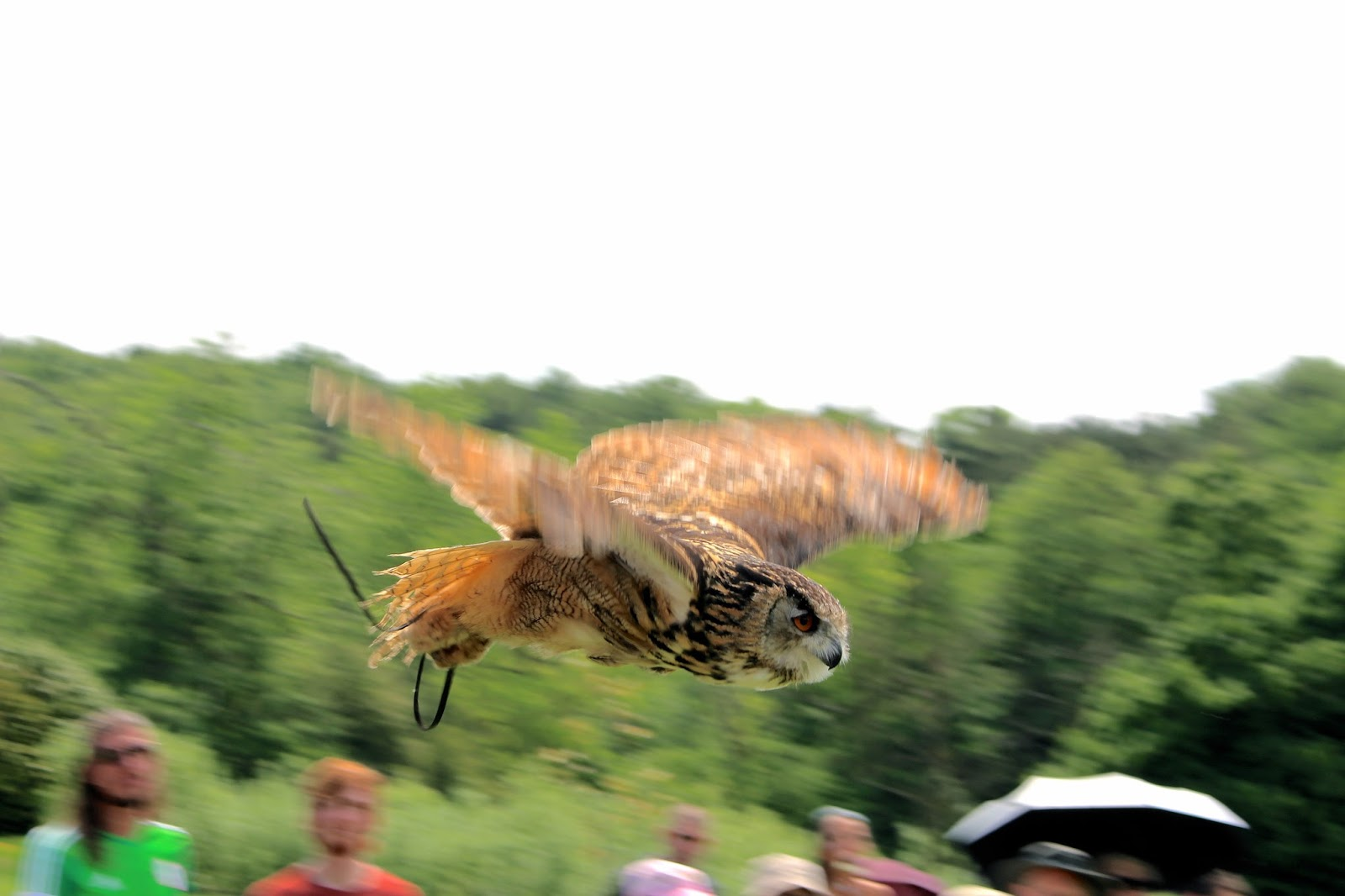 Birds of Prey in flight in falconry show