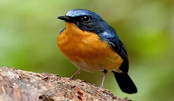 melatih burung tledekan gunung