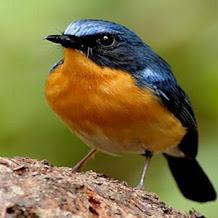 Cara Merawat Dan Melatih burung tledekan gunung Gunung Trotolan