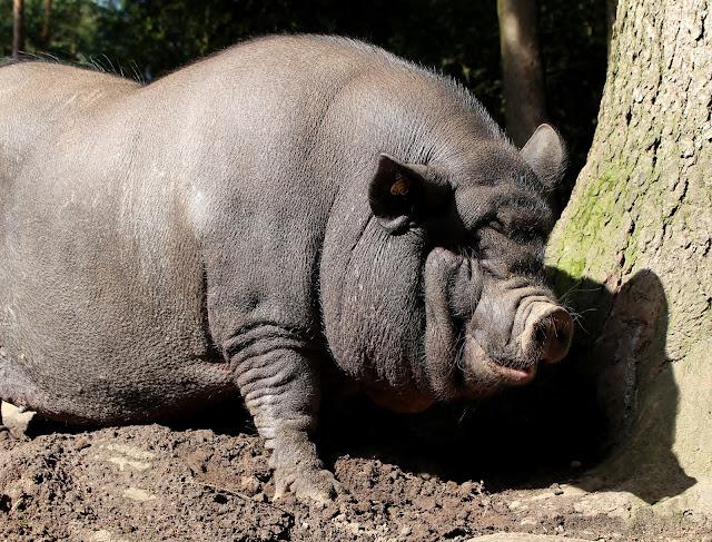 Schweine Wildpark Schwarze Berge
