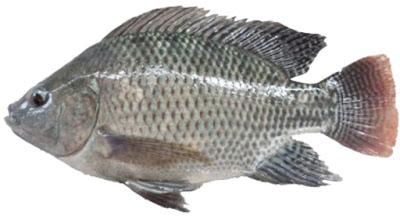 kiat sukses beternak ikan nila