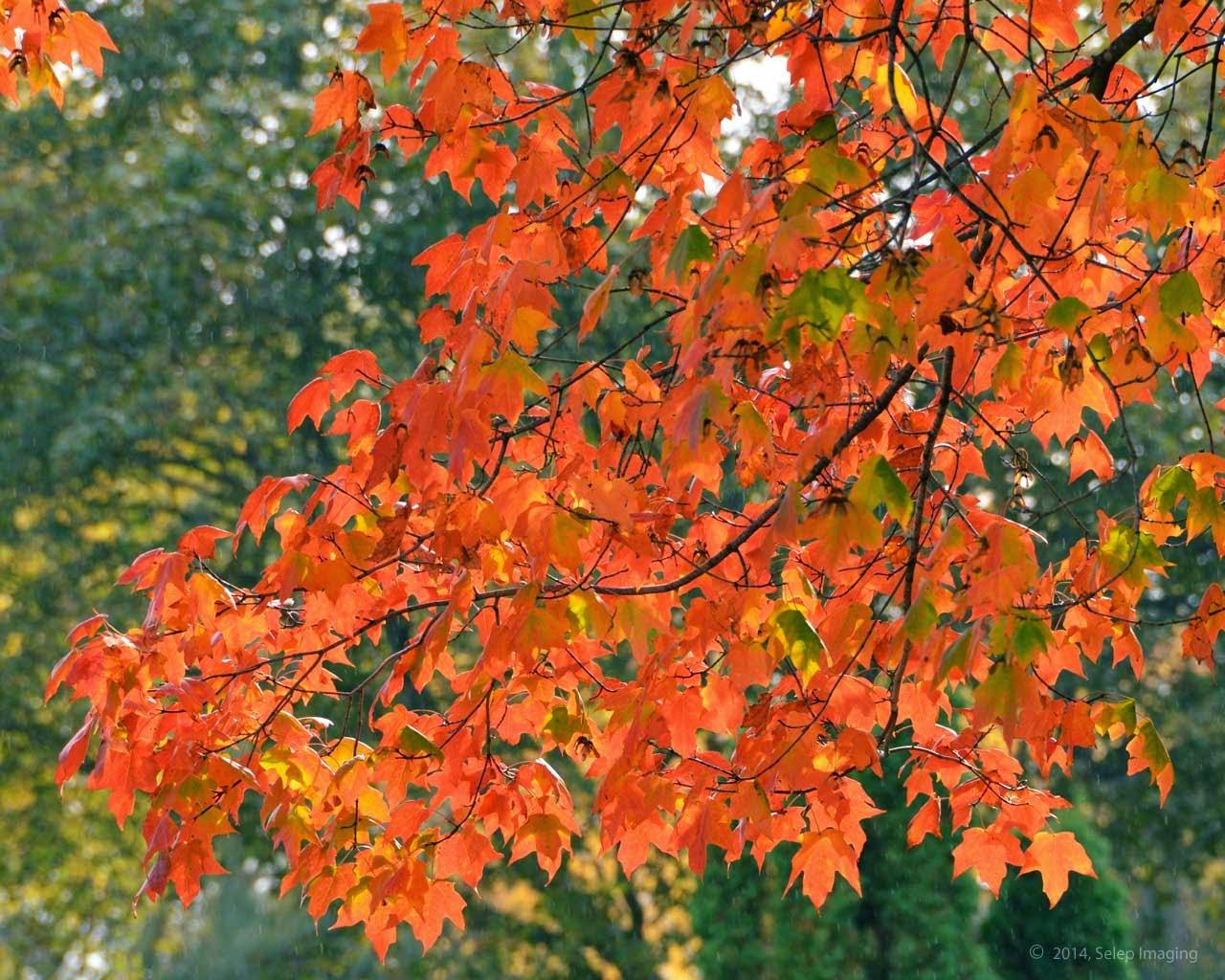 autumn fall foliage free desktop background