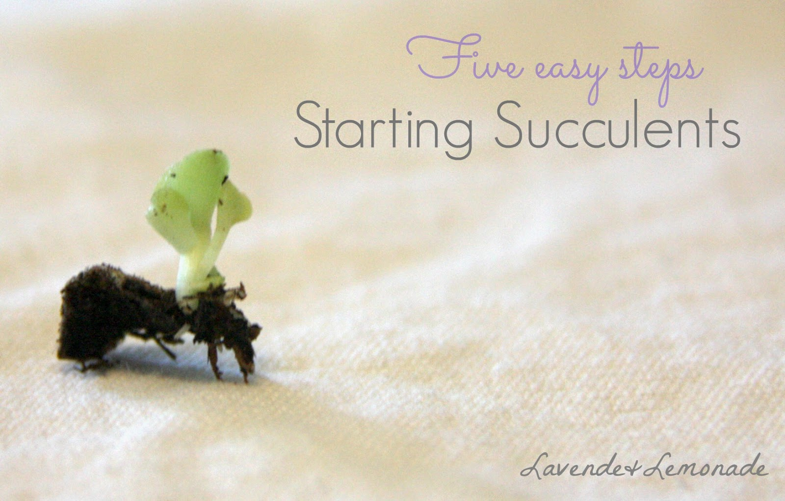 Starting Succulent plants is so simple with these 5 easy steps from Lavende & Lemonade