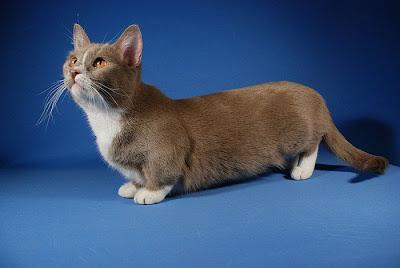 صور لقطط قصيرة الارجل