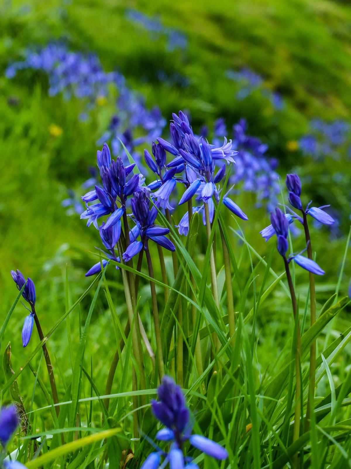 Clumps of bluebells flowering on an embankment in the grass.