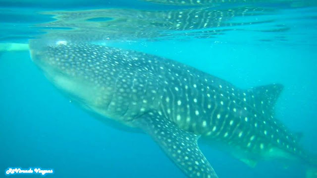 Whale Shark Filipinas
