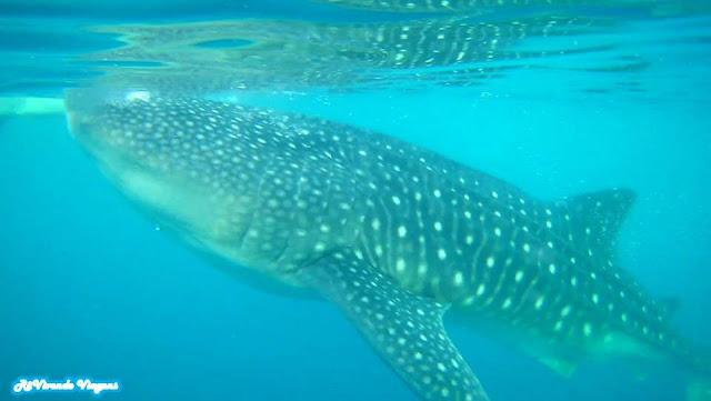 Whale Shark Filipinas