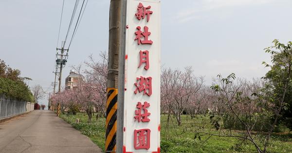台中新社|2019新社月湖莊園富士櫻|新社賞櫻秘境|3/14花況