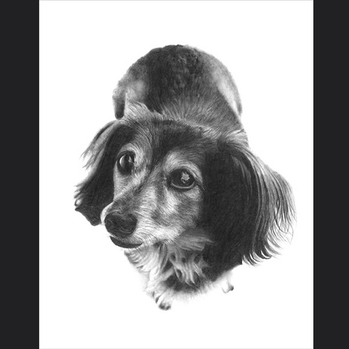 13-Long-Haired-Dachshund-Lisandro-Peña-Animal-Drawings-with-Attention-to-Minute-Details-www-designstack-co