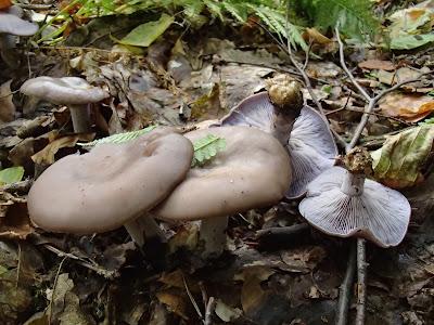 grzyby 2016, grzyby w październiku, grzyby w okolicy Krakowa, szmaciak gałęzisty siedzuń sosnowy Sparassis crispa, podgrzybek brunatny Boletus badius, Pieprzniki trąbkowe Cantharellus tubaeformis, Chlorophyllum rachodes czubajka czerwieniejąca, grzybówka Mycena, gąsówka fioletowawa, gąsówka naga Lepista nuda, Łysiczka ceglasta [maślanka ceglasta] - Hypholoma sublateritium,