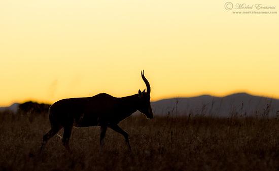 PhotoShare: Blesbuck Sunset