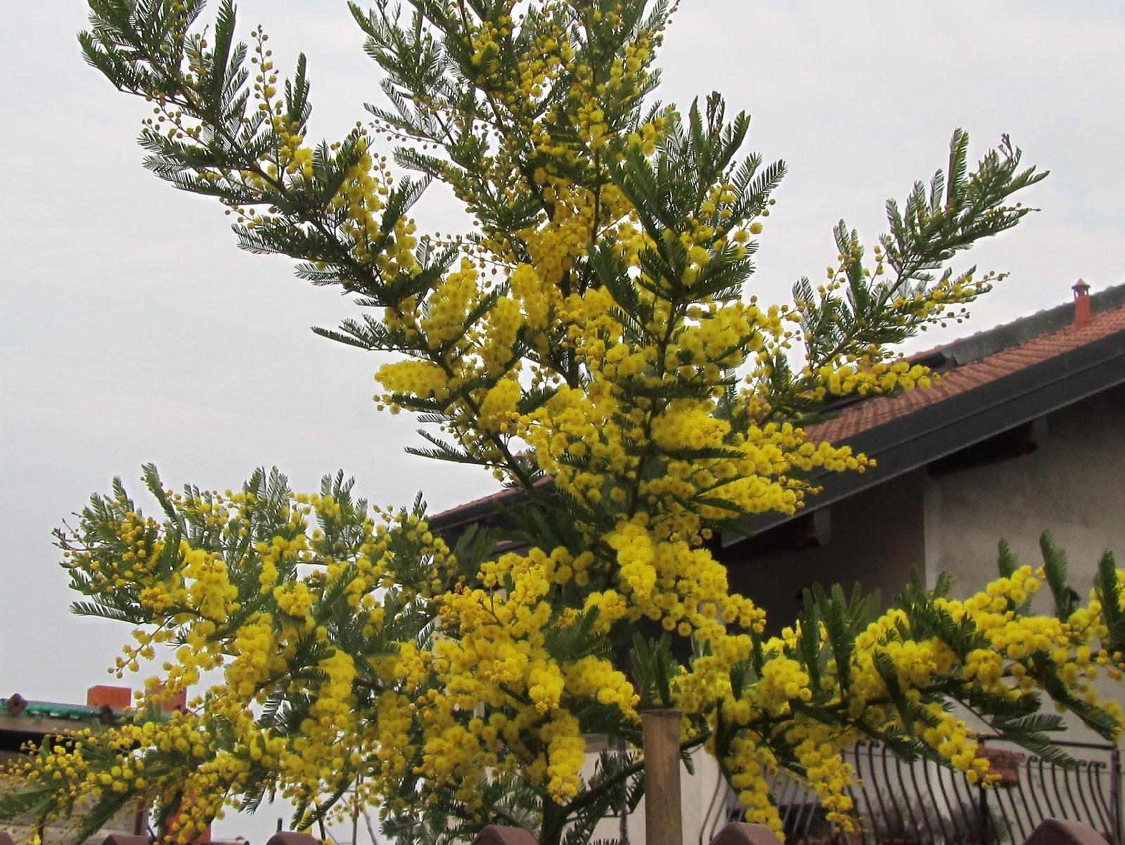 come coltivare la mimosa dai fiori gialli acacia dealbata