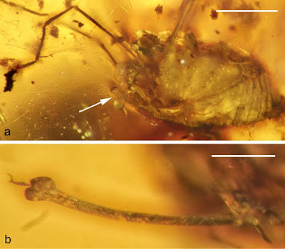 Fossil daddy longlegs sports a 99-million-year erection