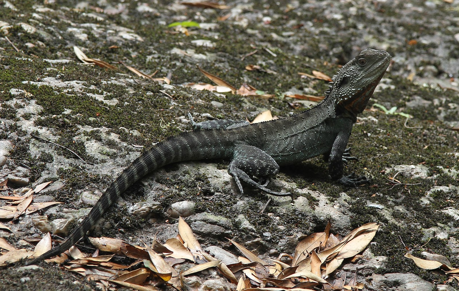 Reptiles: Aust Gippsland Water Dragon, Physignathus lesueurii howittii