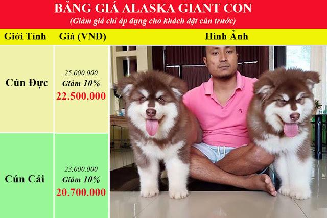 Bảng giá chó alaska giant con
