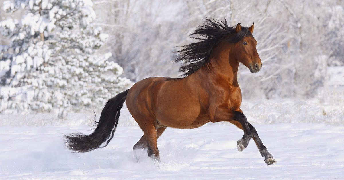 hintergrundbilder mit pferd im schnee hd hintergrundbilder. Black Bedroom Furniture Sets. Home Design Ideas
