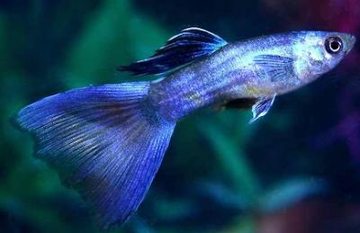 Harga Ikan Guppy Metalik Tahun 2016 - 2017
