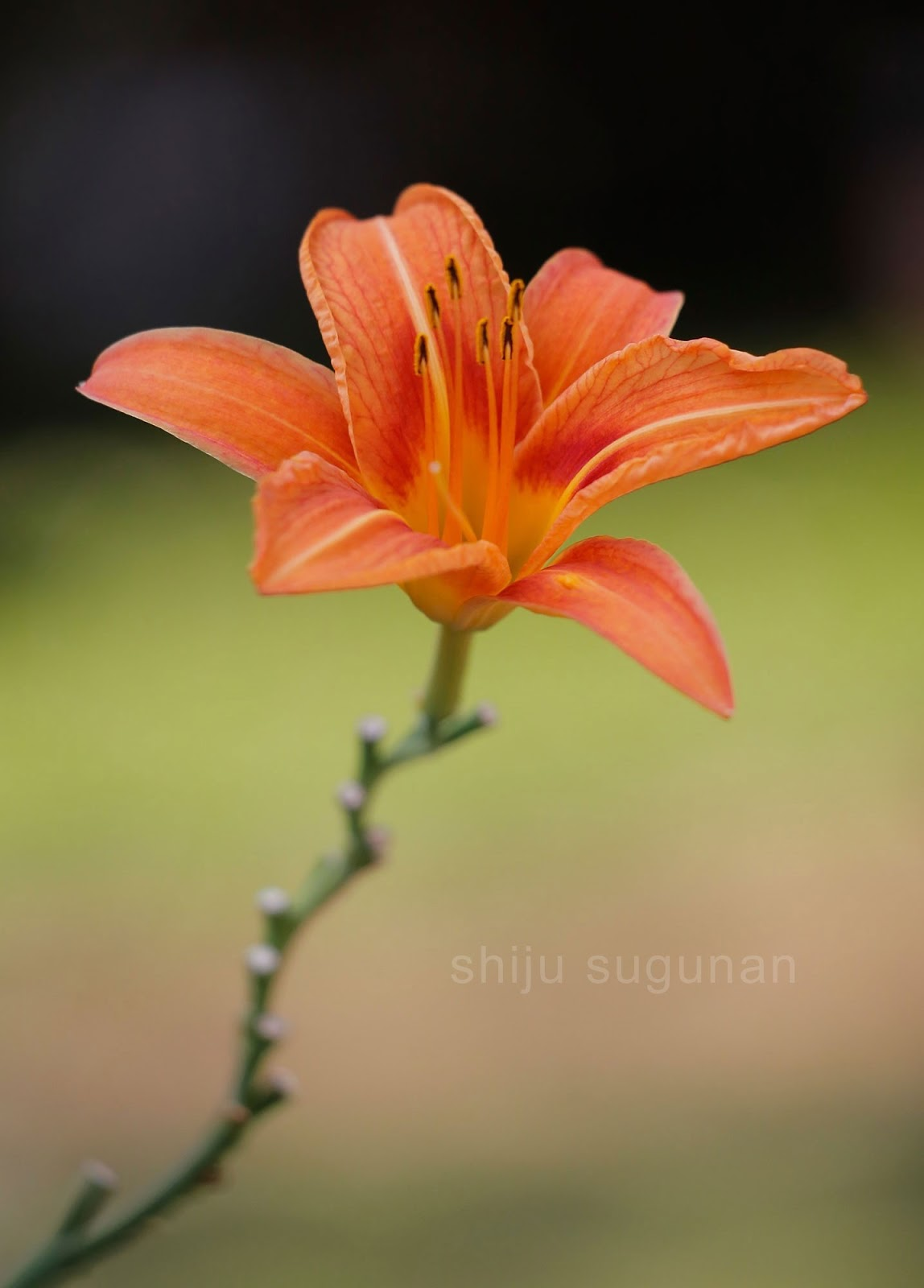 Orange Daylily Flower Photo by @shijuvenate