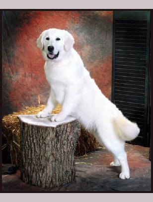 White Golden Retriever Puppies Funny Animal