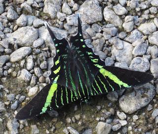 Urania fulgens, Sunset Moth