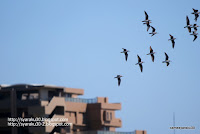 飛立つハマシギの群れの写真
