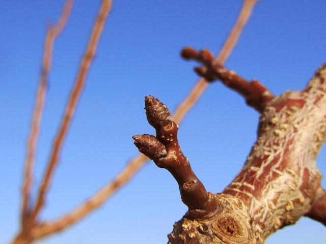 Gemme a fiore Prunus armeniaca