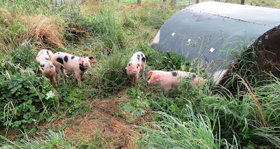 Gloucester Old Spot Piglets on the HenSafe smallholding