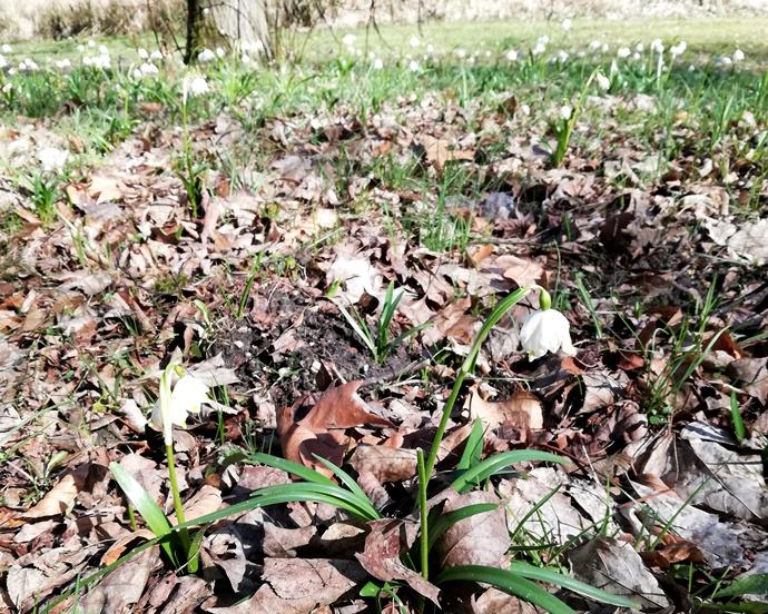 Nasza Wielkopolska: Śnieżyca wiosenna w kórnickim arboretum
