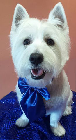 tamworth westie dog groomed