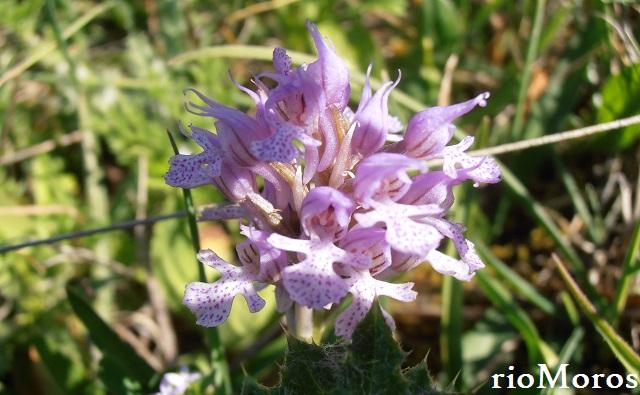 Neotinea conica Orchis conica