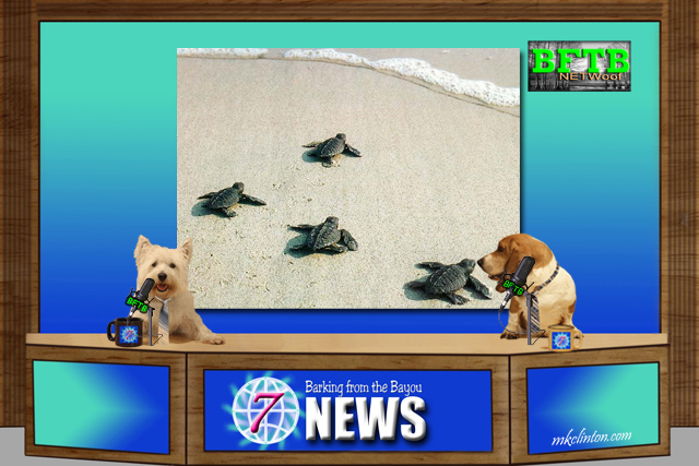 BFTB NETWoof News reports on saving sea turtles after hurricanes