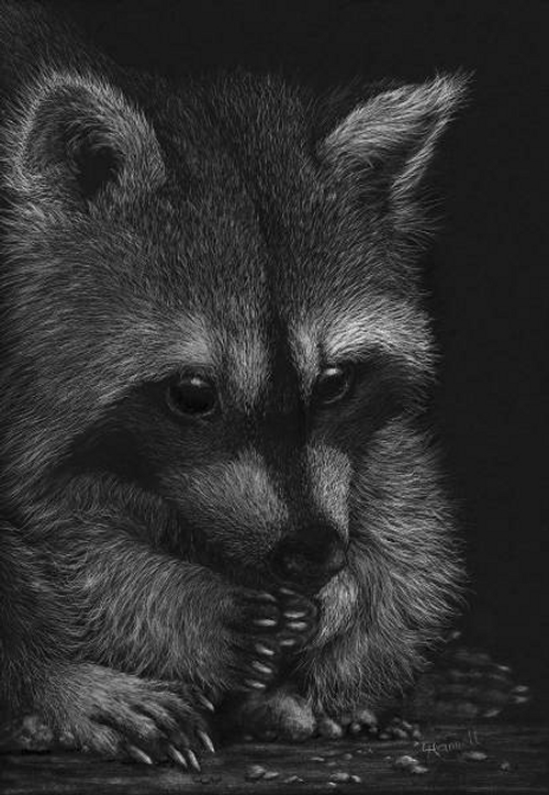 01-Cute-Raccoon-Lorna-Hannett-Animals-Drawings-Scratched-out-of-Ink-with-the-Scratchboard-www-designstack-co