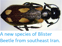 http://sciencythoughts.blogspot.co.uk/2012/09/a-new-species-of-blister-beetle-from_29.html