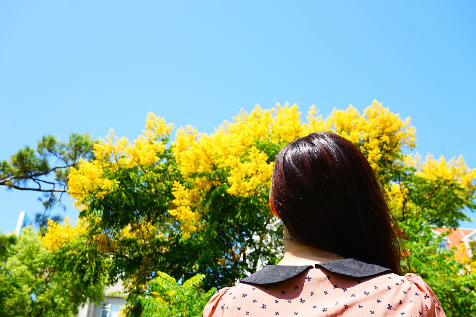 beautyanxiety.com-Flame%2BGold-rain%2BTree-DSC02769-beautyanxiety.com-Flame Gold-rain Tree