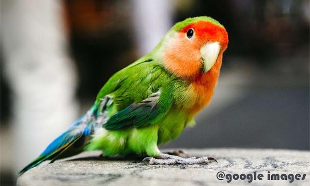 Gambar BURUNG LOVEBIRD.. [ Artikel lengkap ]
