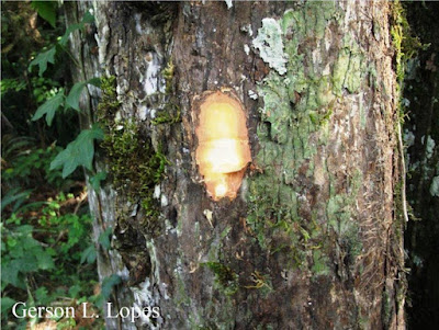 Scutia buxifolia tronco