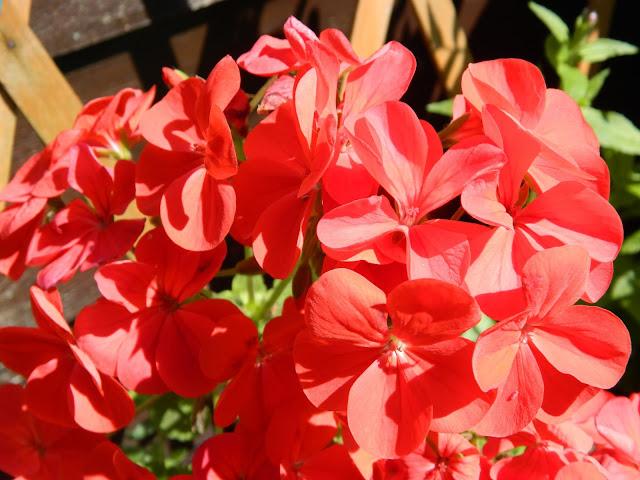 30 Days Wild Challenge, geraniums,