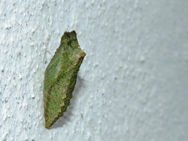 Crisálida de Papilio machaon