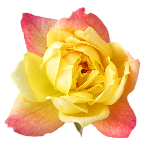 Wallpaper Of Yellow Rose: ForgetMeNot: Yellow Roses